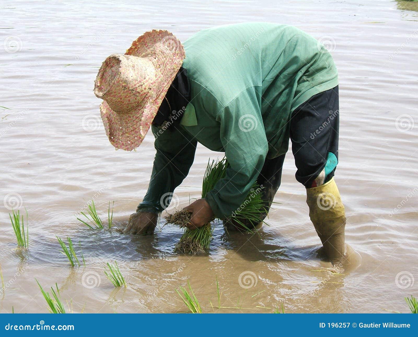 Piantagione del riso