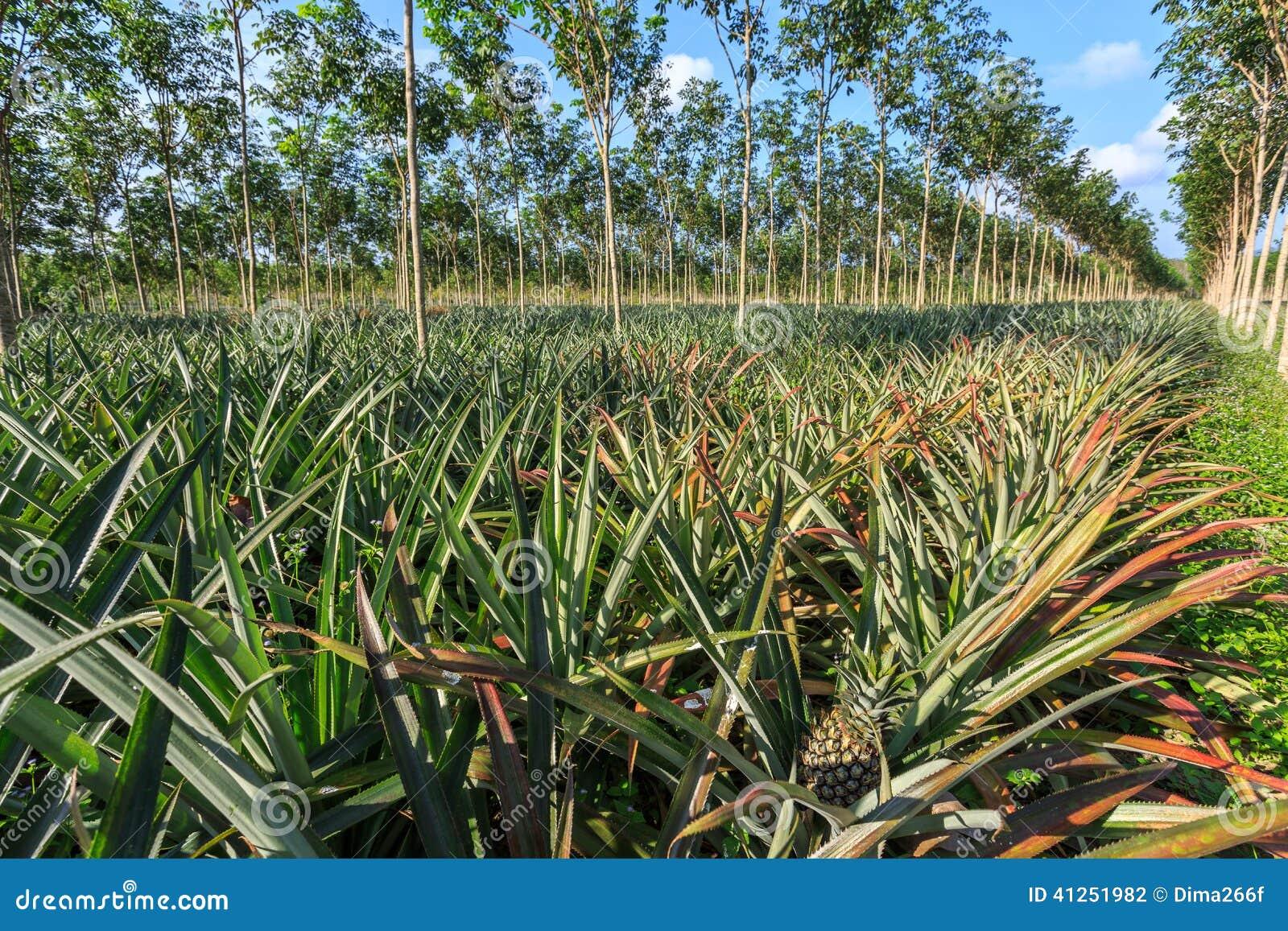 Piantagione dell 39 ananas e dell 39 albero di gomma fotografia for Albero di ananas