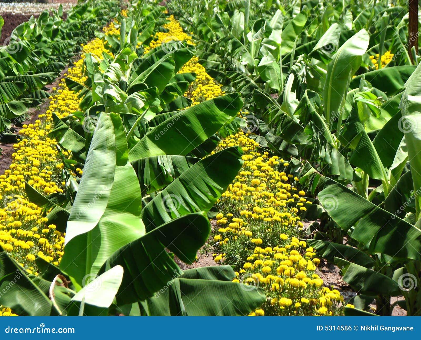 Download Piantagione di banana fotografia stock. Immagine di fogli - 5314586