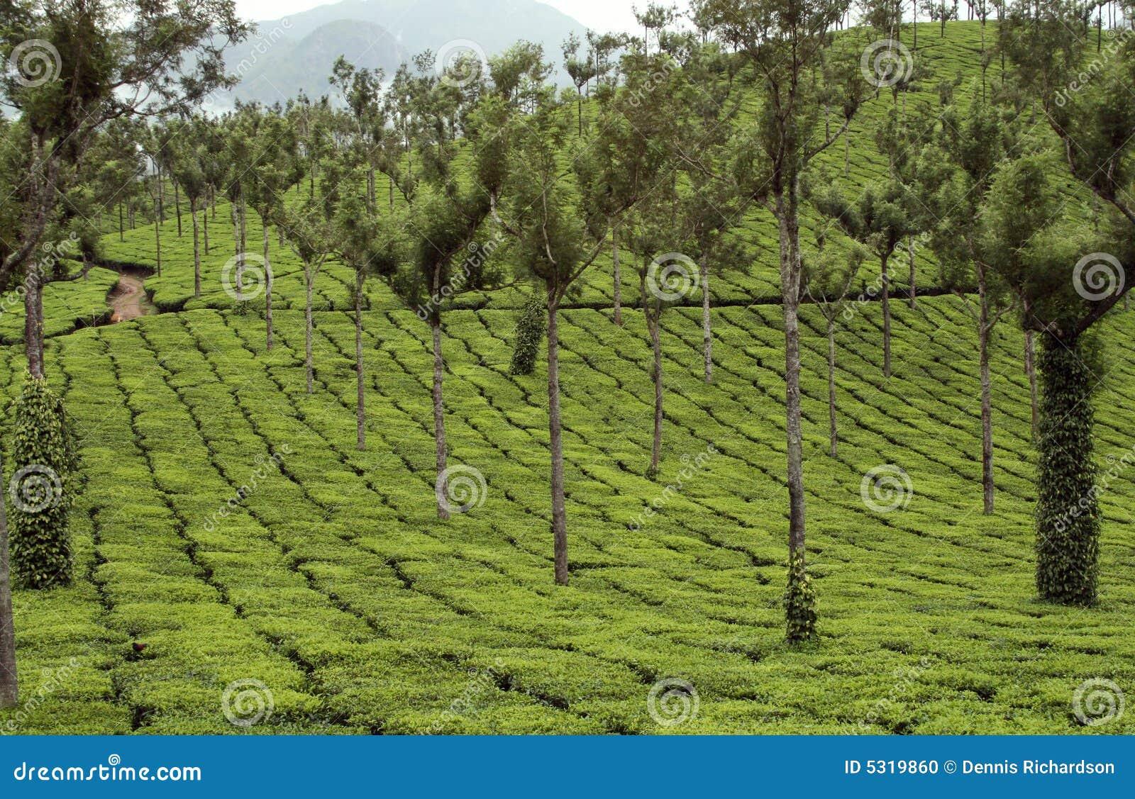 Download Piantagione di tè fotografia stock. Immagine di bevanda - 5319860