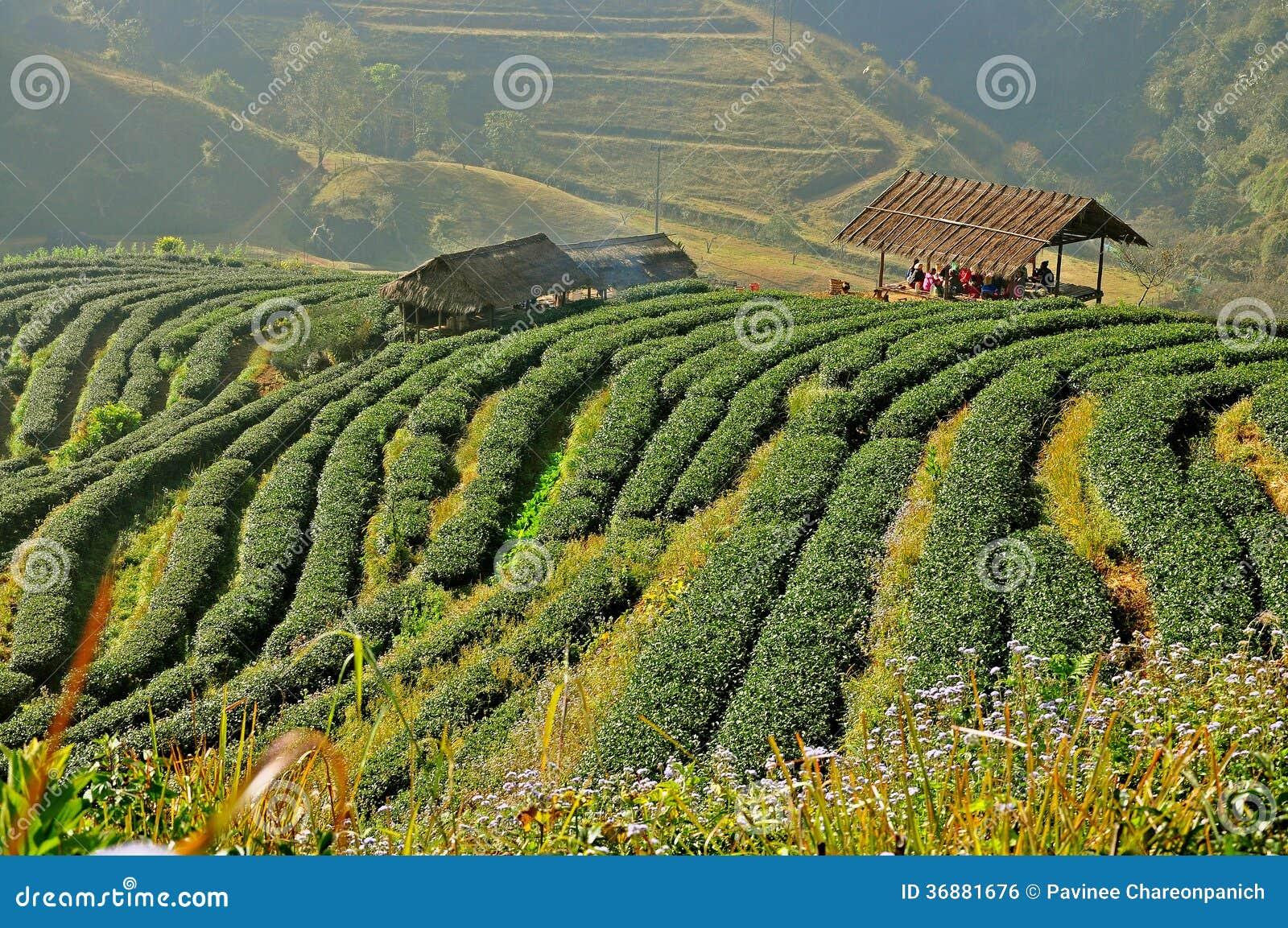Download Piantagione Di Tè In Chiang Mai, Tailandia Fotografia Stock - Immagine di industria, background: 36881676