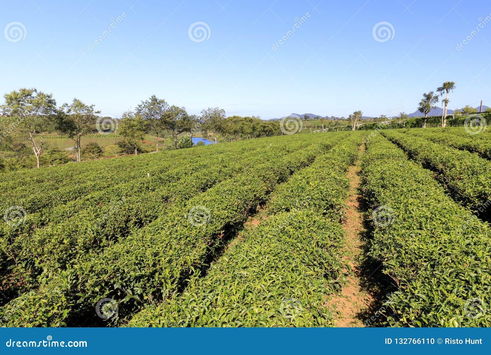 Piantagione di Tam Chau Tea con i cespugli del tè verde in Bao Lam, Vietn