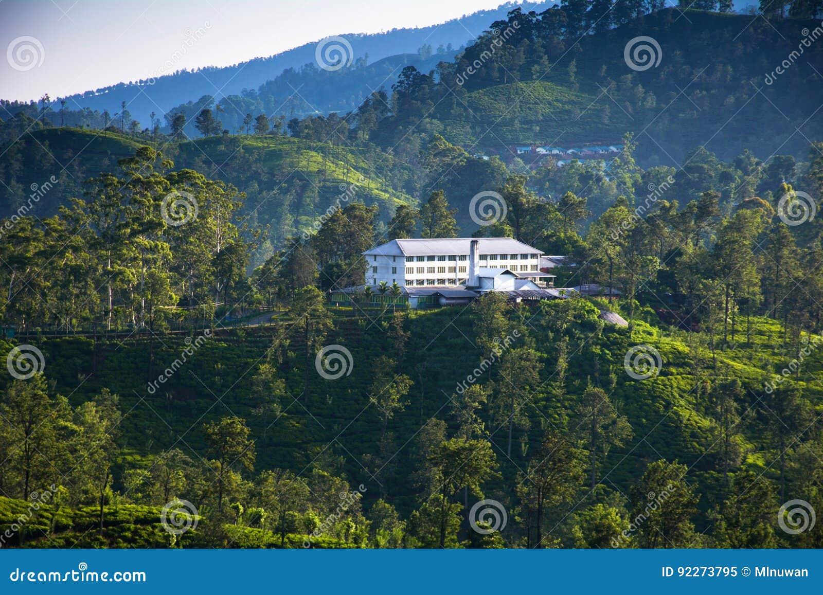 Piantagioni di tè in Ella, Sri Lanka