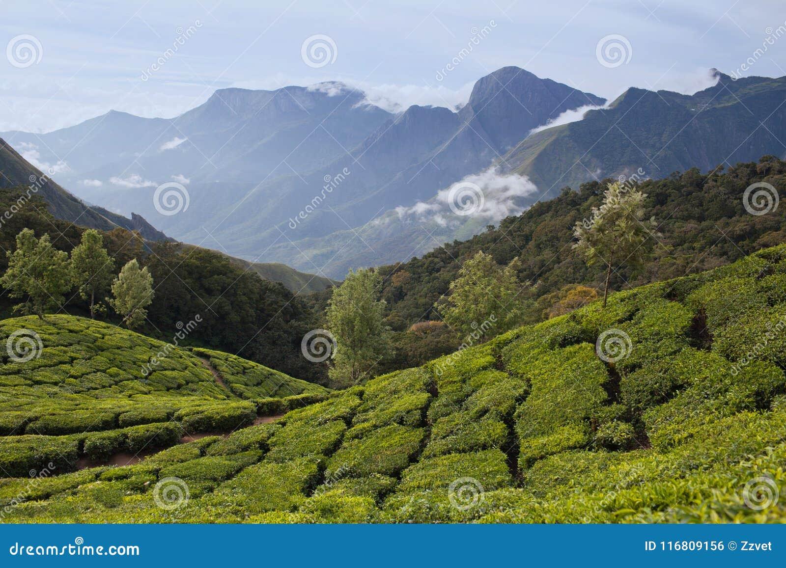 Piantagioni di tè nel Kerala, India del sud