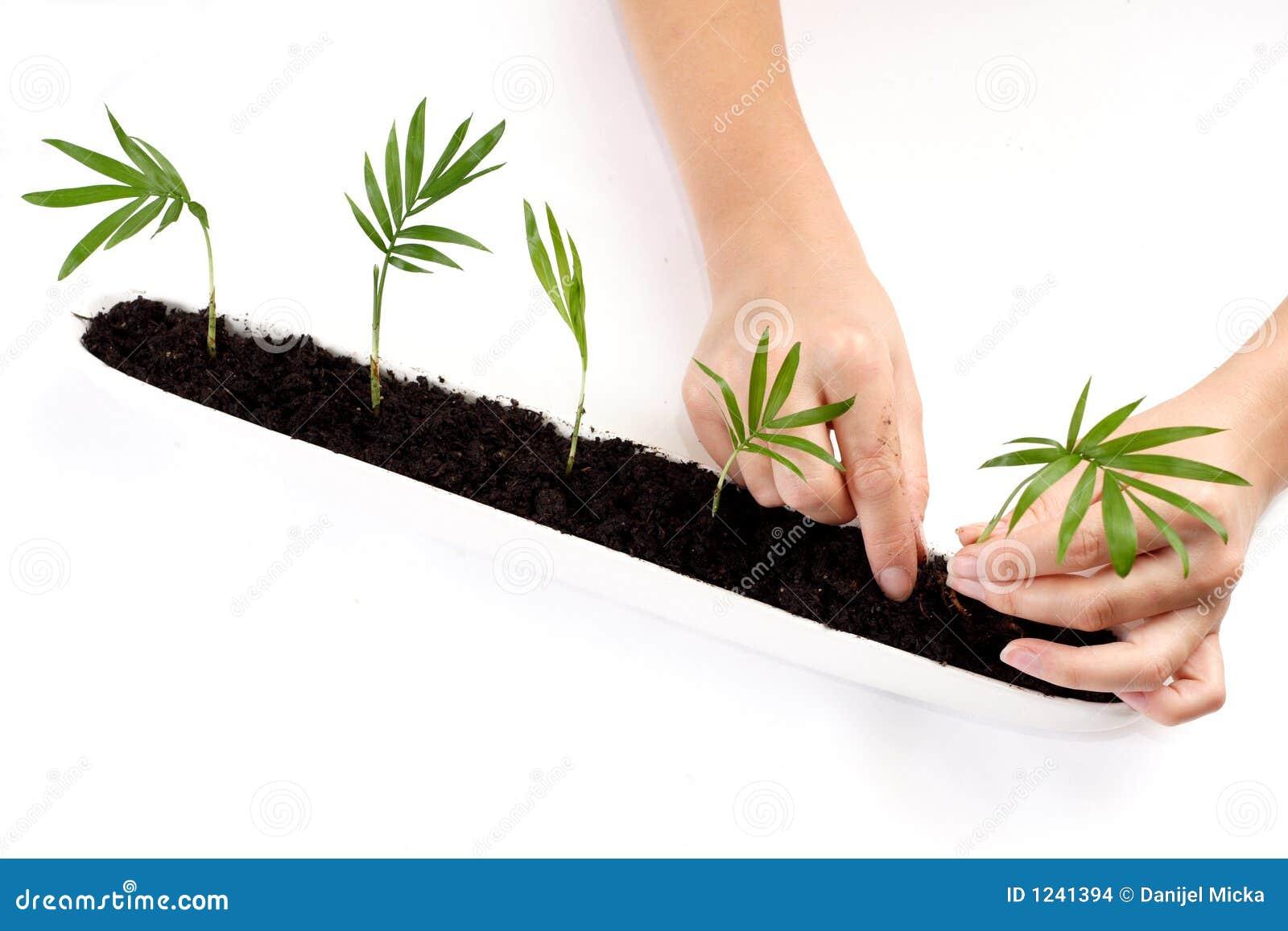 Piantatura dei germogli della palma