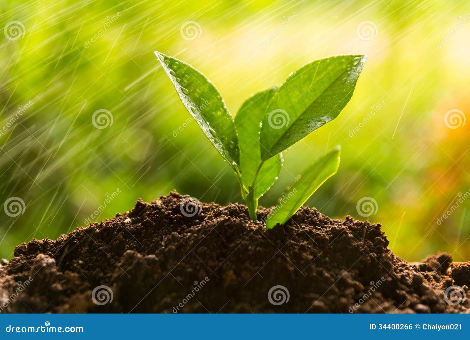 Piantatura dell albero, germoglio
