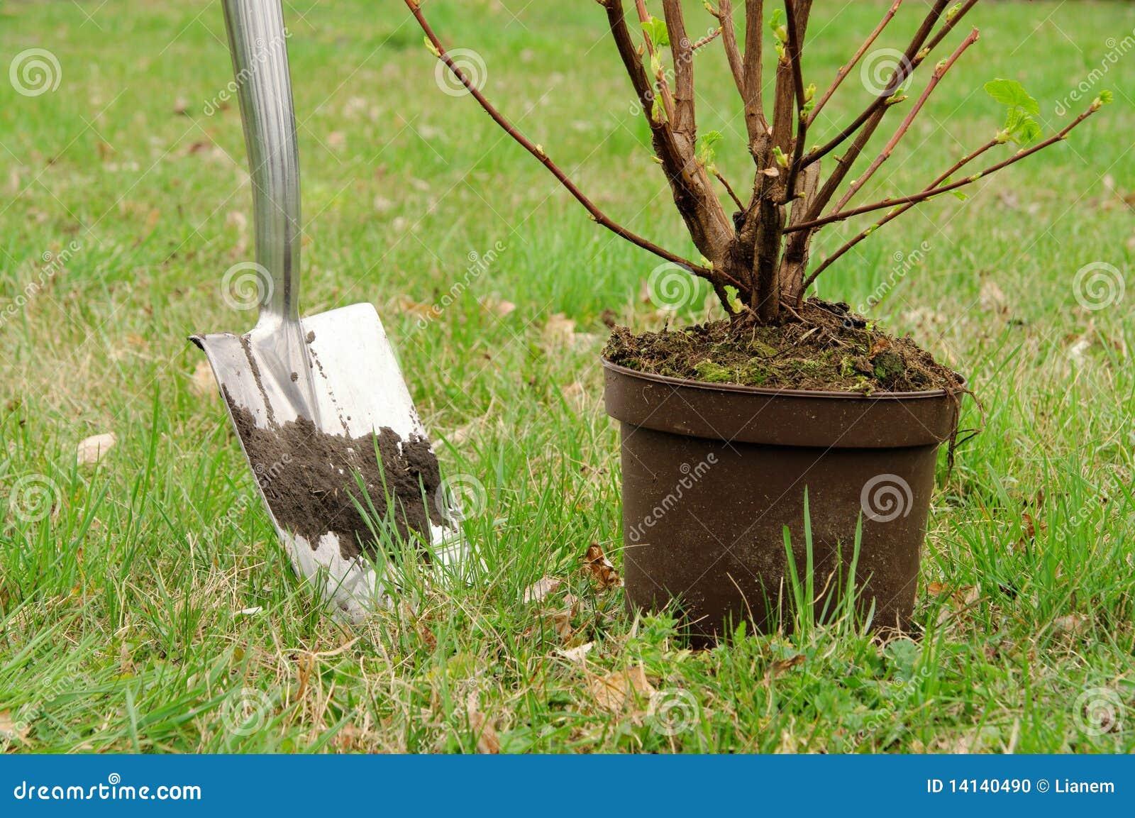 Piantatura dell arbusto
