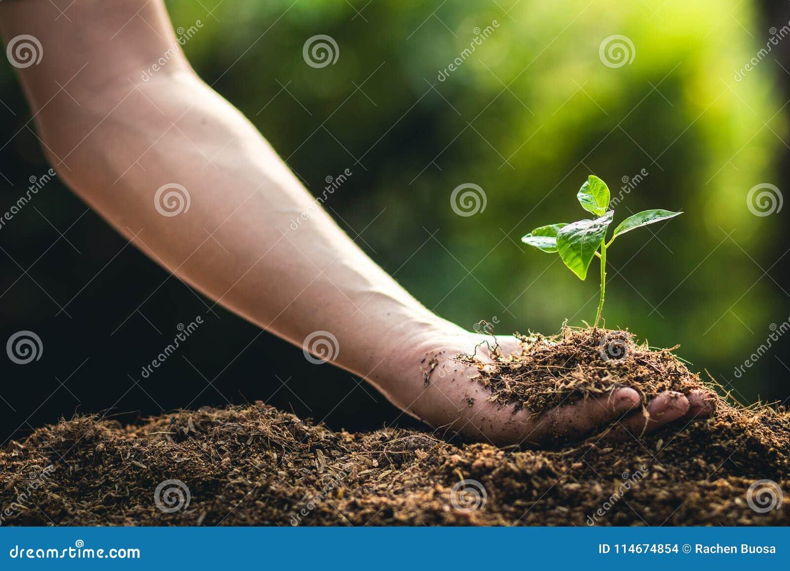 Piantatura il frutto della passione e della mano di crescita degli alberi che innaffiano alla luce ed al fondo della natura