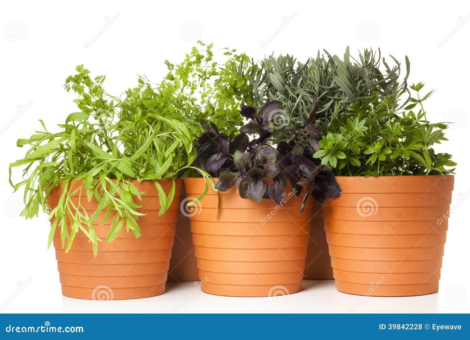 Vasi Piante Aromatiche.Piante Aromatiche Conservate In Vaso Fotografia Stock