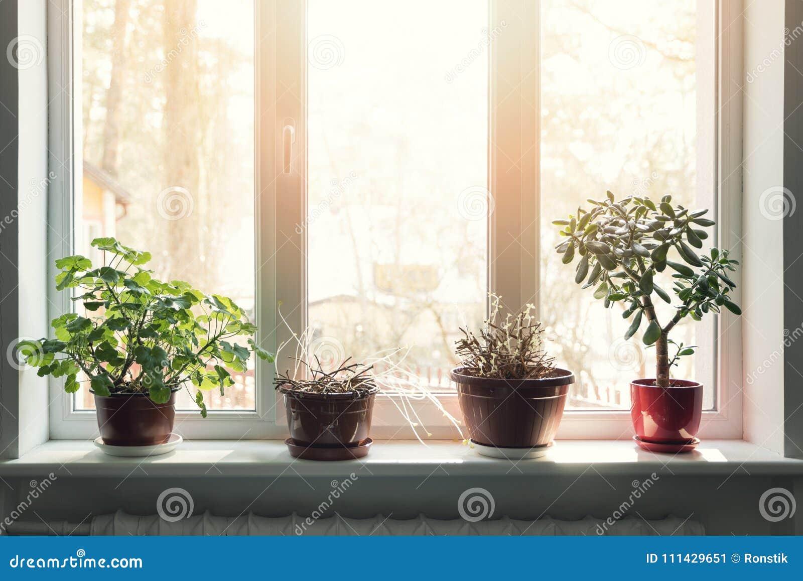 Davanzale Interno Della Finestra piante d'appartamento in vasi sul davanzale soleggiato della