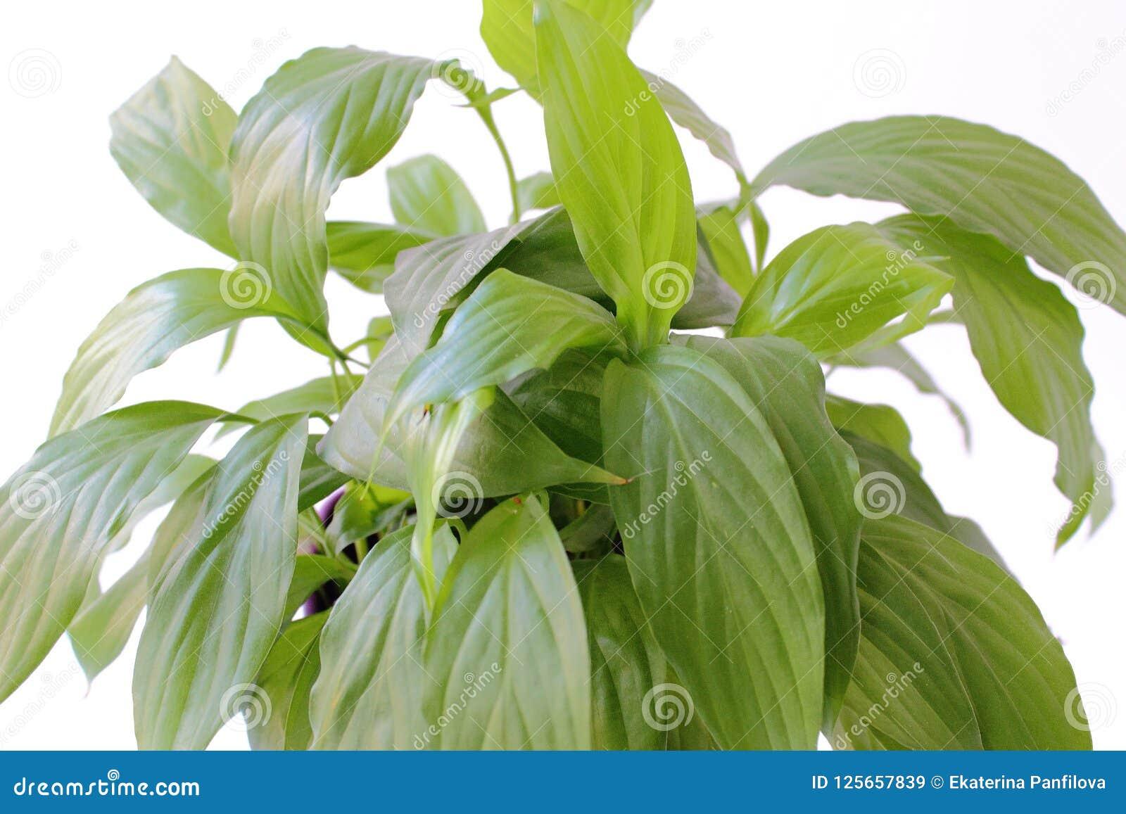 Foto Piante Da Appartamento Verdi piante da appartamento: grande piano verde di spathiphyllum