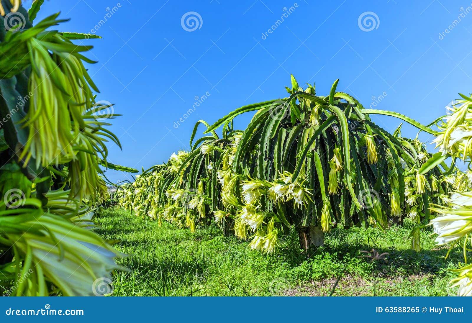 Piante da frutto di fioritura del drago del giardino - Alberi frutto giardino ...