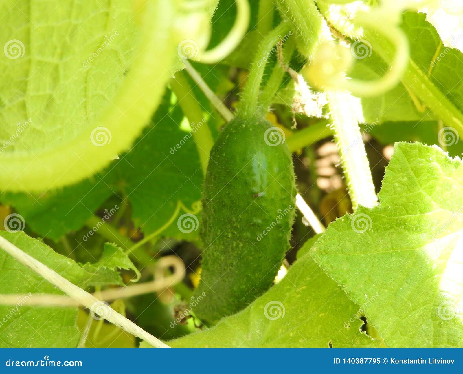 Piante del cetriolo delle piante di pomodori in serre di verdure