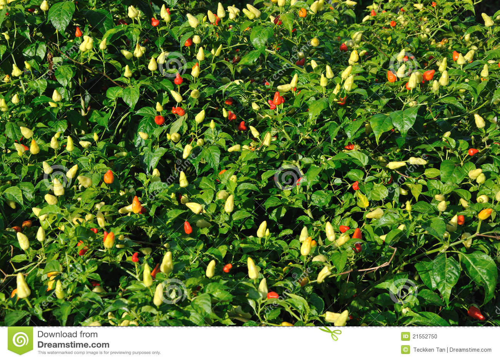 Piante del peperoncino rosso fotografia stock immagine for Acquisto piante peperoncino