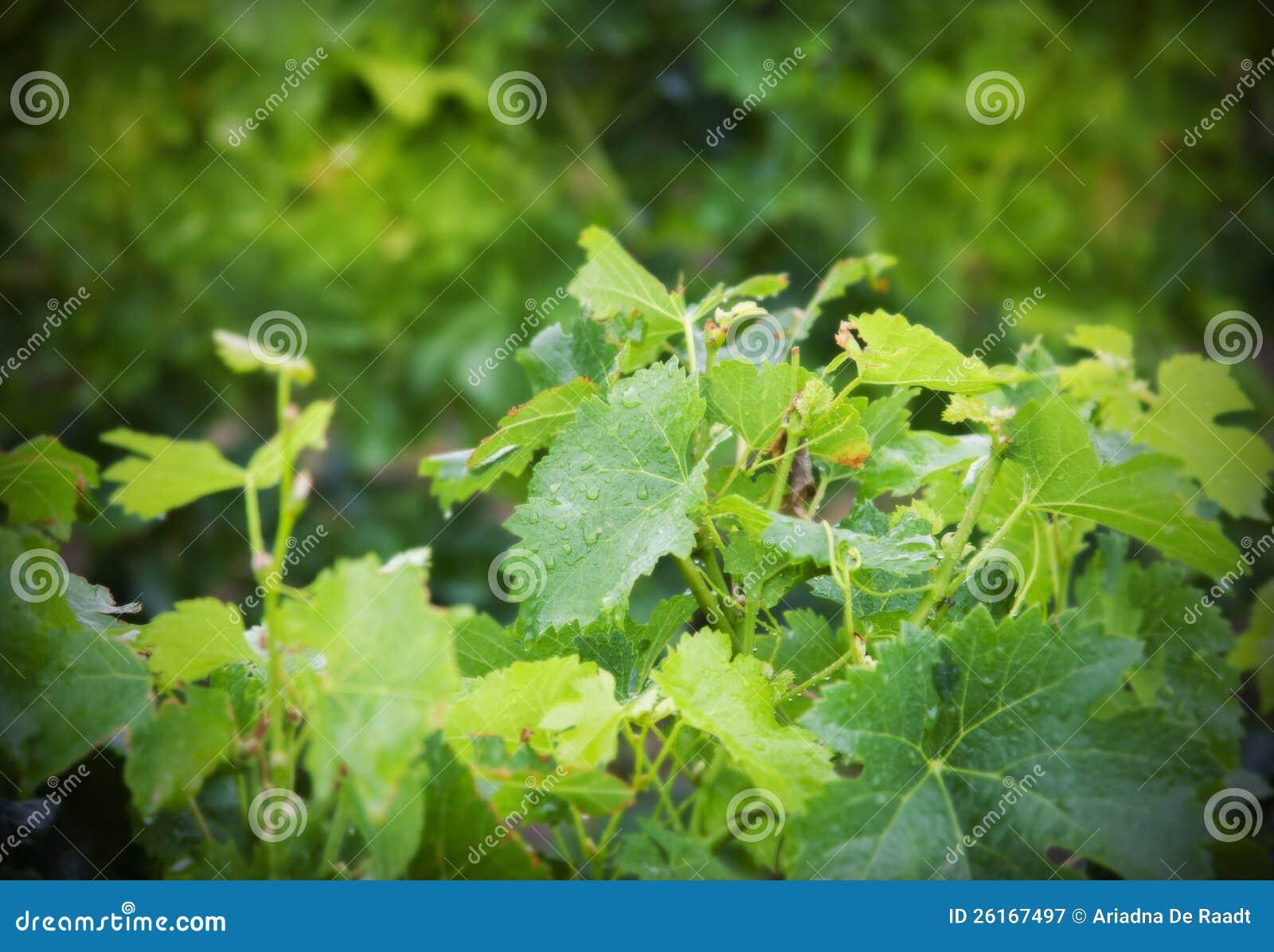 Piante del vino immagine stock immagine di costruzione for Piante di lamponi acquisto