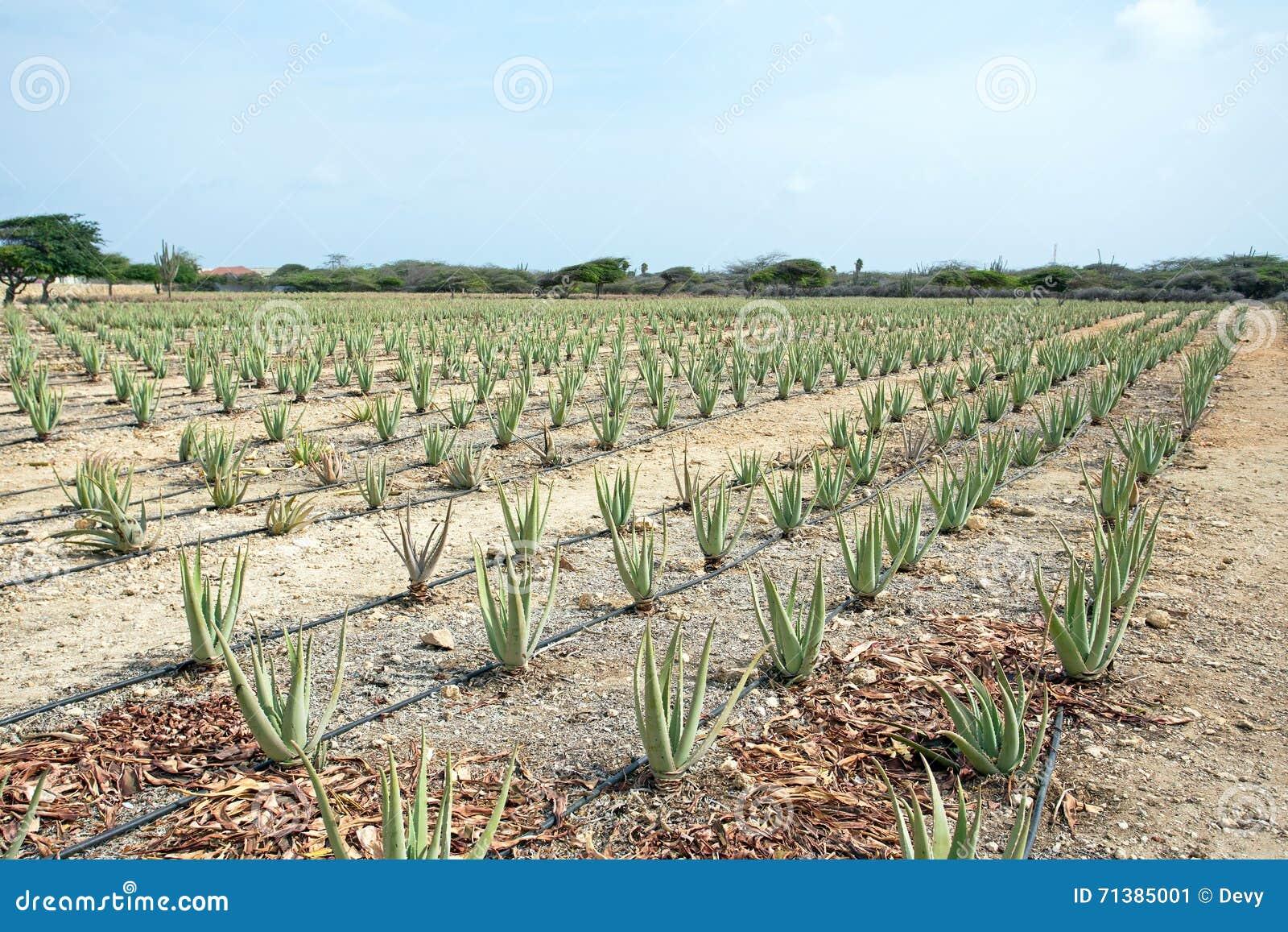 Piante dell 39 aloe che sono coltivate in un campo sull 39 isola for Piante di lamponi acquisto