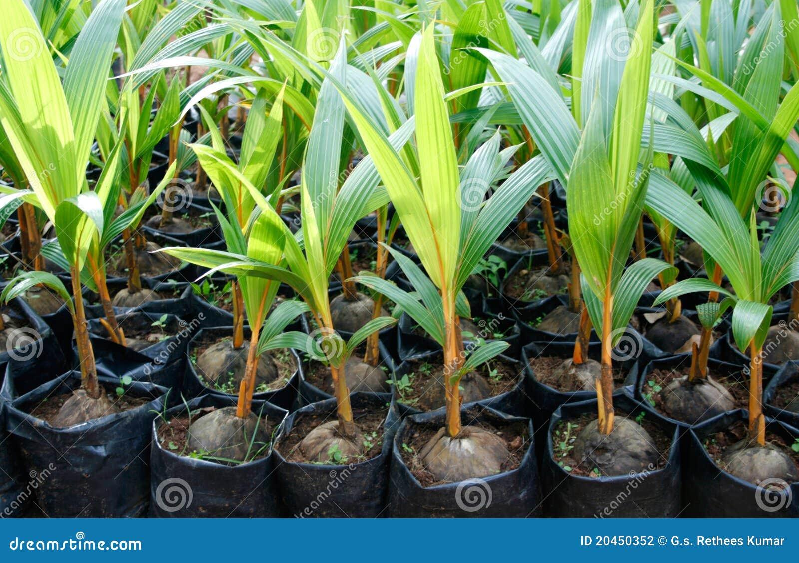 piante della noce di cocco fotografia stock immagine