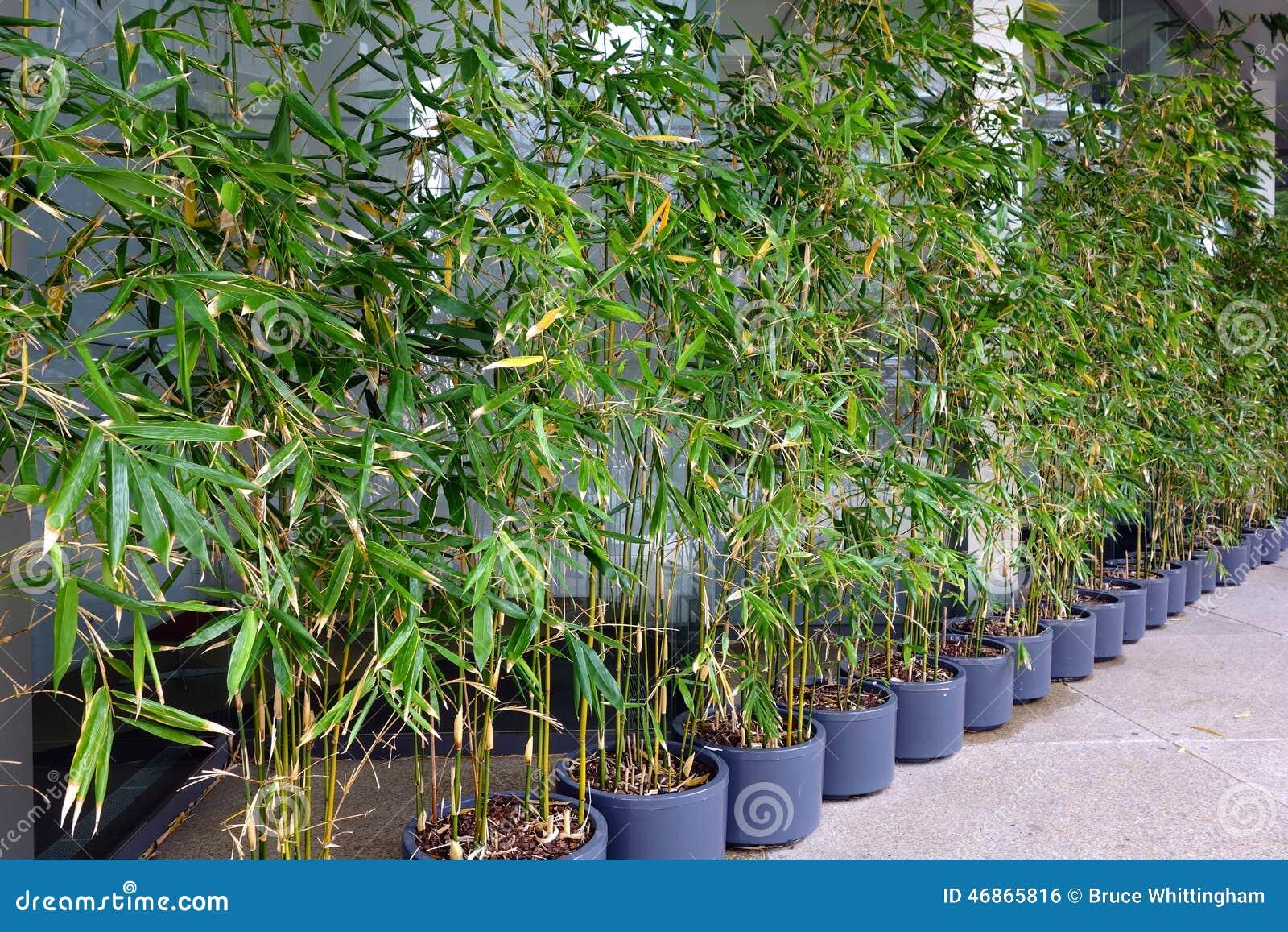 Piante Di Bambù In Vasi Fotografia Stock - Immagine: 46865816