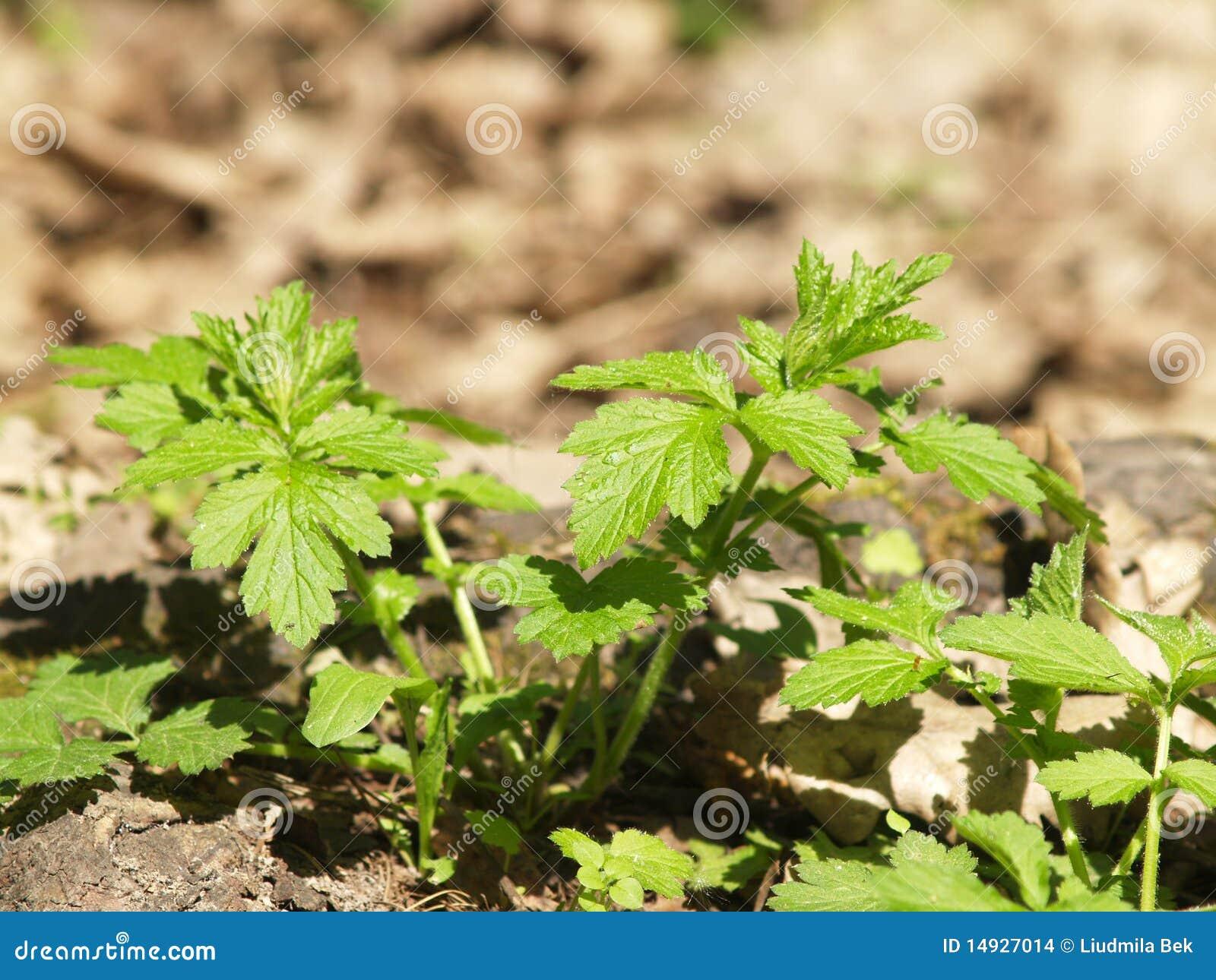 Piante di estate fotografia stock immagine di pianta for Piante di lamponi acquisto