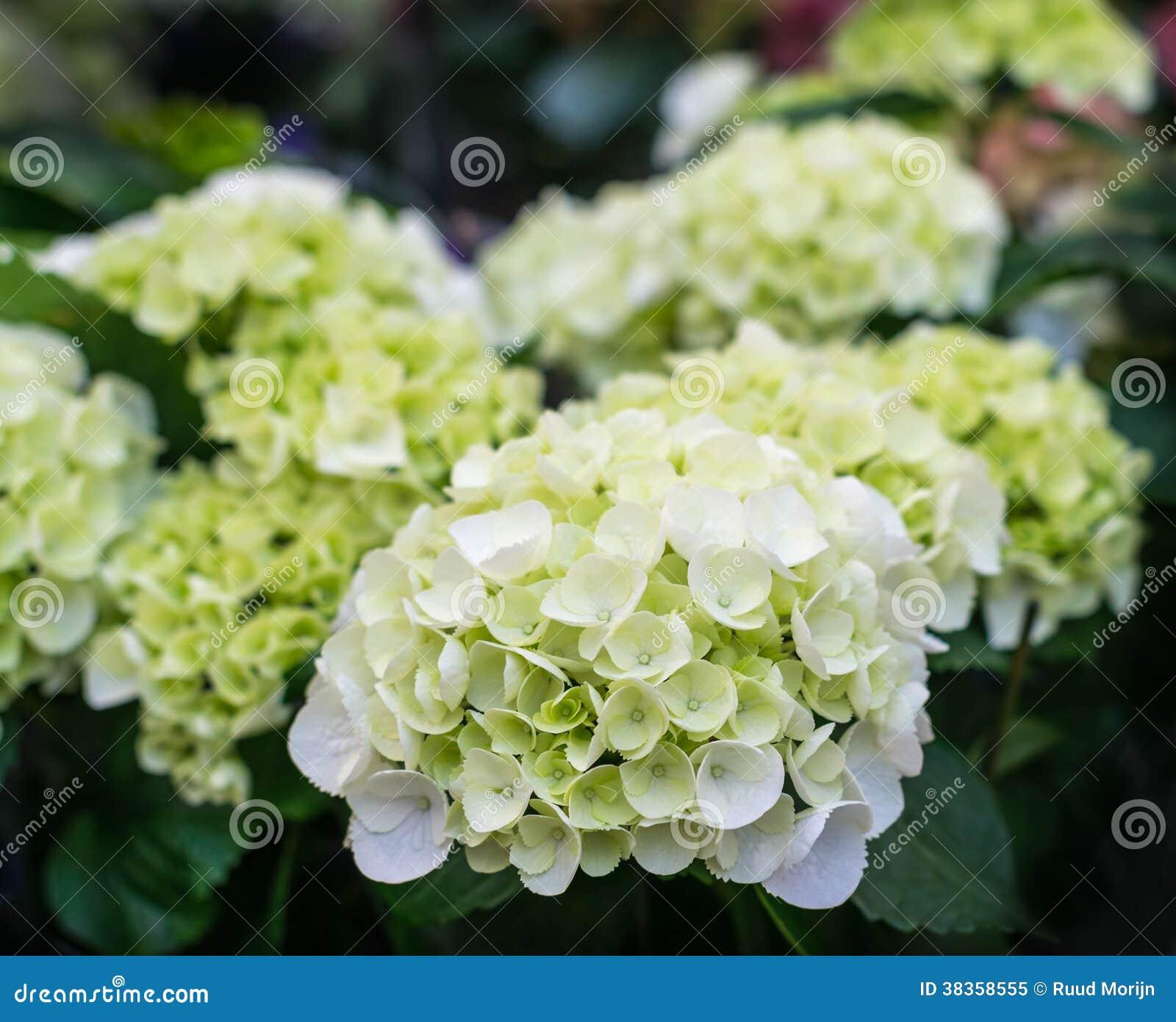Piante di fioritura dell 39 ortensia di bianco immagine stock for Piante di lamponi acquisto