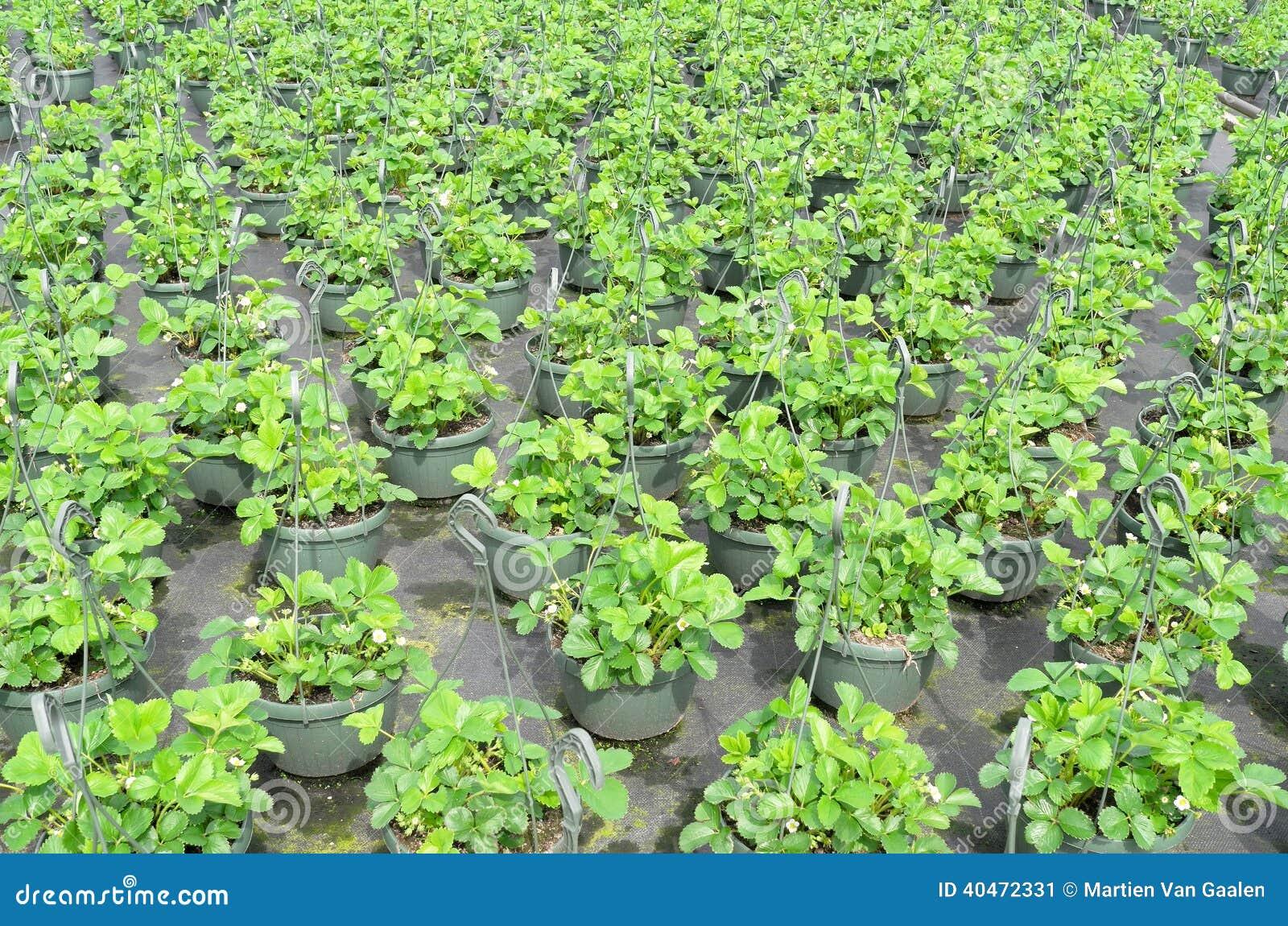Piante di fragola alla vendita all 39 ingrosso immagine stock for Piante fragola vendita