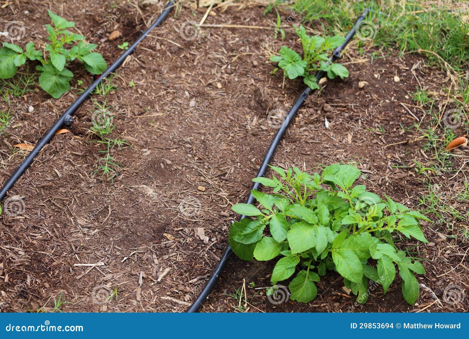 Crescita ruggine delle patate immagini stock immagine for Sistema irrigazione a goccia