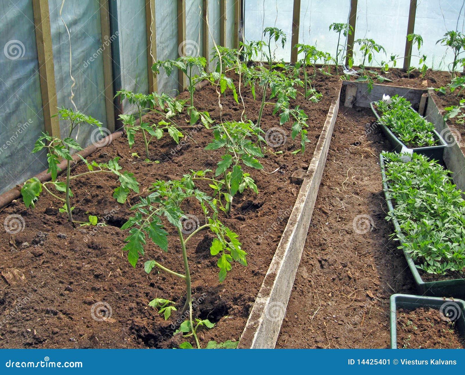 Piante di pomodori immagine stock immagine di turf for Piante di lamponi acquisto