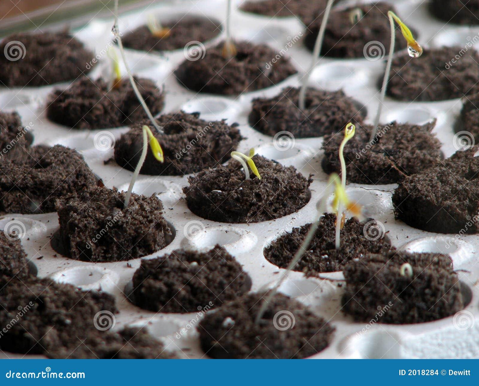 Piante di pomodori fotografia stock immagine di germogli for Piante di lamponi acquisto