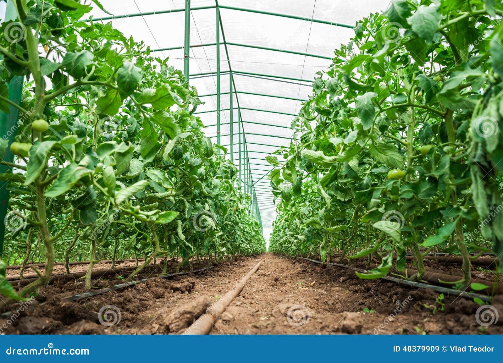 Piante di pomodori in serra immagine stock immagine for Piante di lamponi acquisto