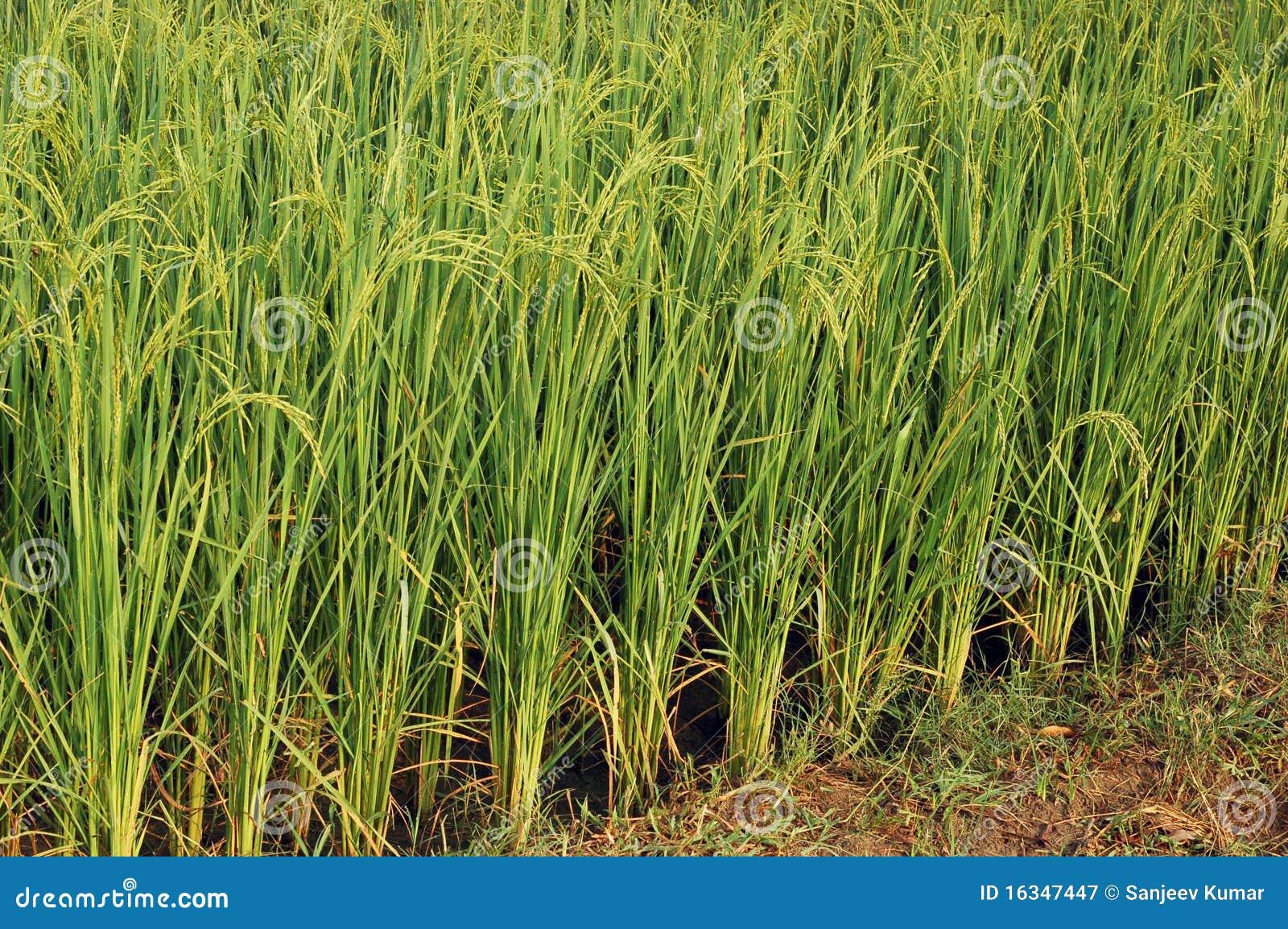 Piante di riso immagine stock immagine di organico for Piante di lamponi acquisto
