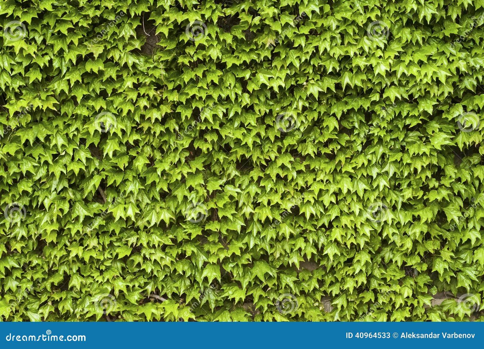 Piante rampicanti sulla parete in primavera immagine stock - Piante da parete ...
