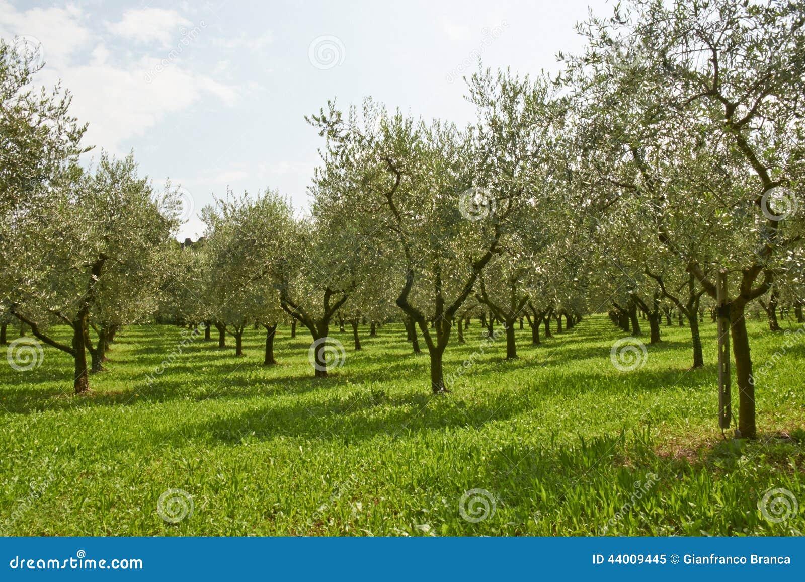 Piante verde oliva
