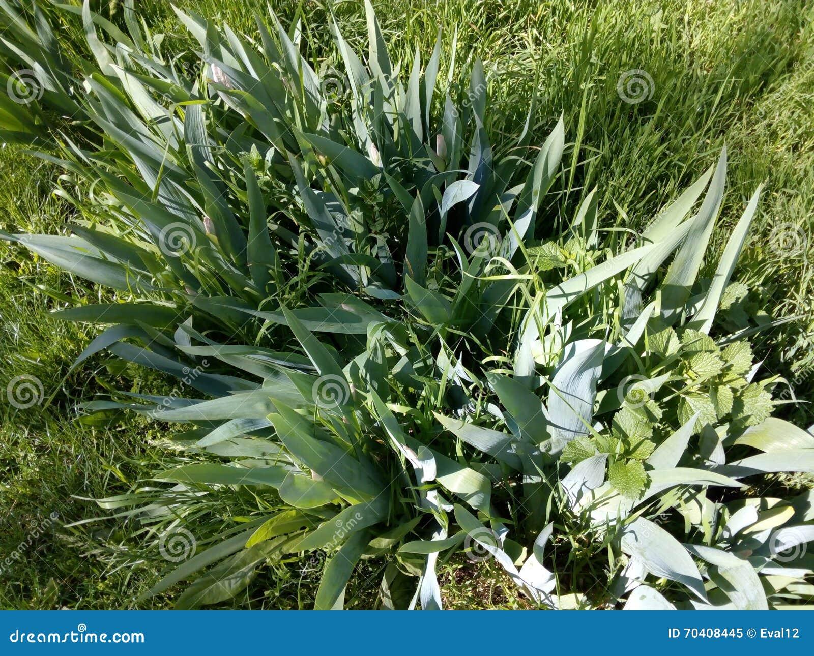 Piante verdi del cespuglio della molla fra l 39 erba for Piante da cespuglio