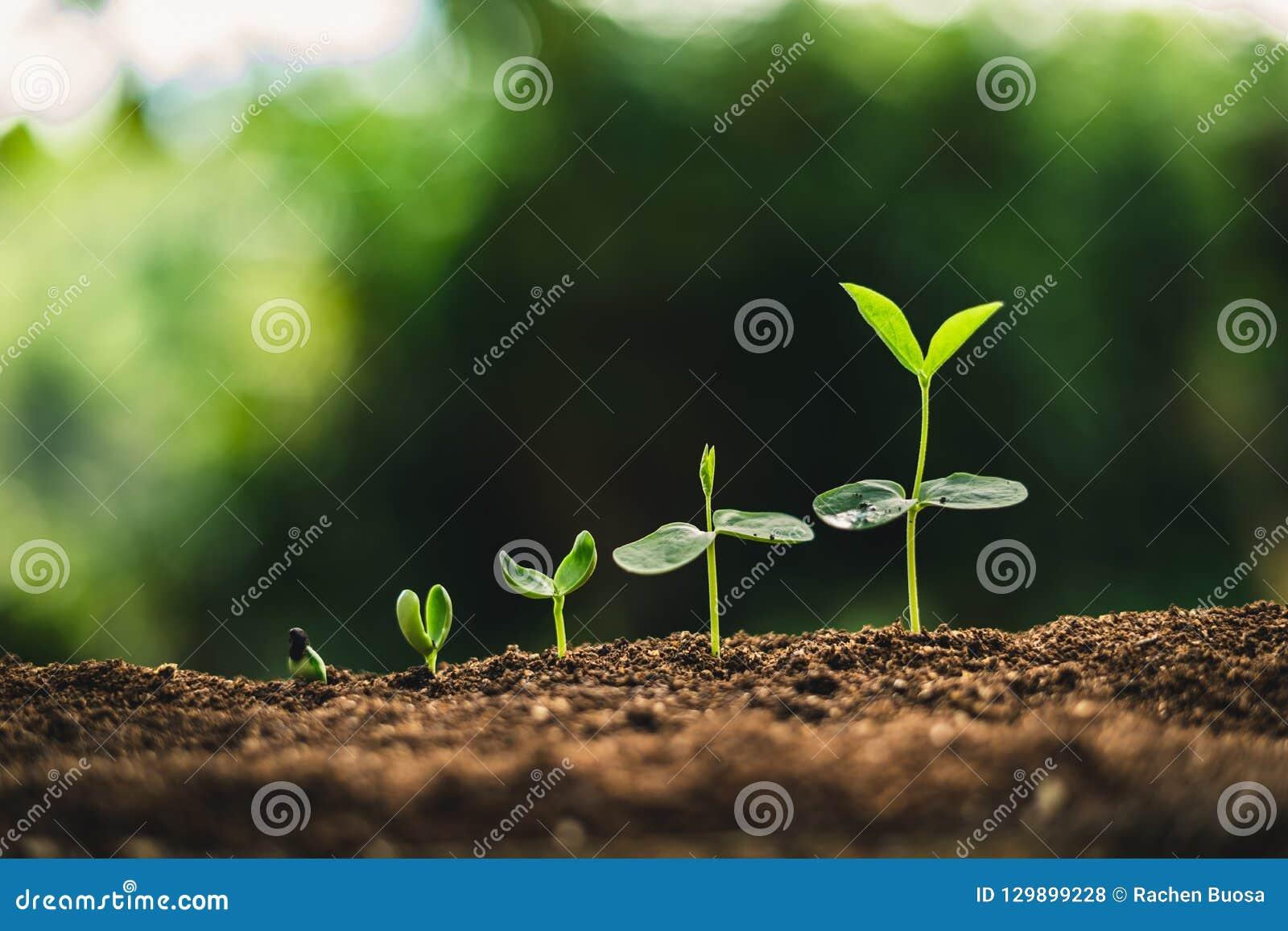Pianti la crescita degli alberi di piantatura di semi, i semi stanno germinando sui suoli di buona qualità in natura