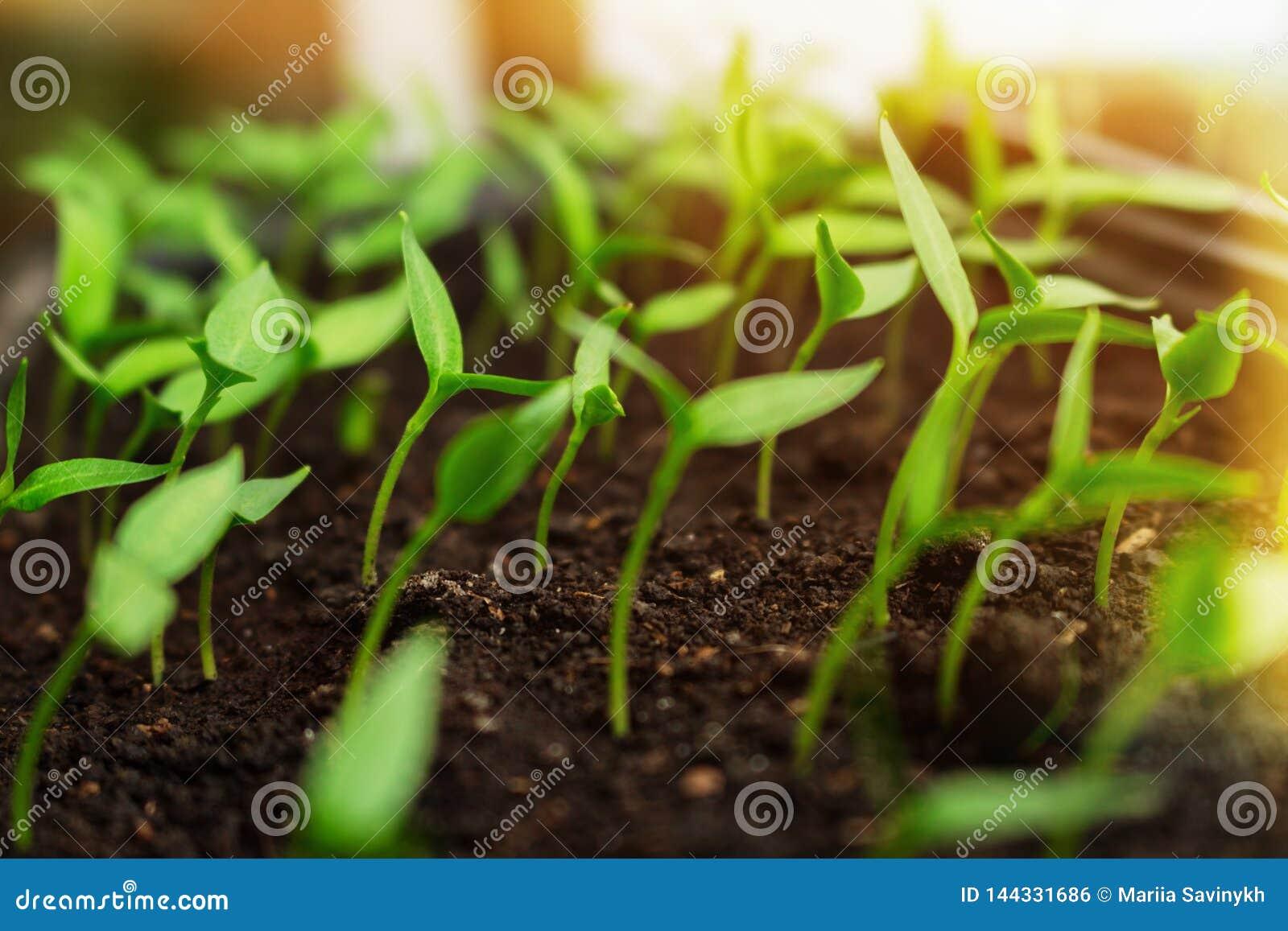 Piantine che crescono in scatole che raggiungono per la luce solare brillante Concetto rurale agricolo di ecologia