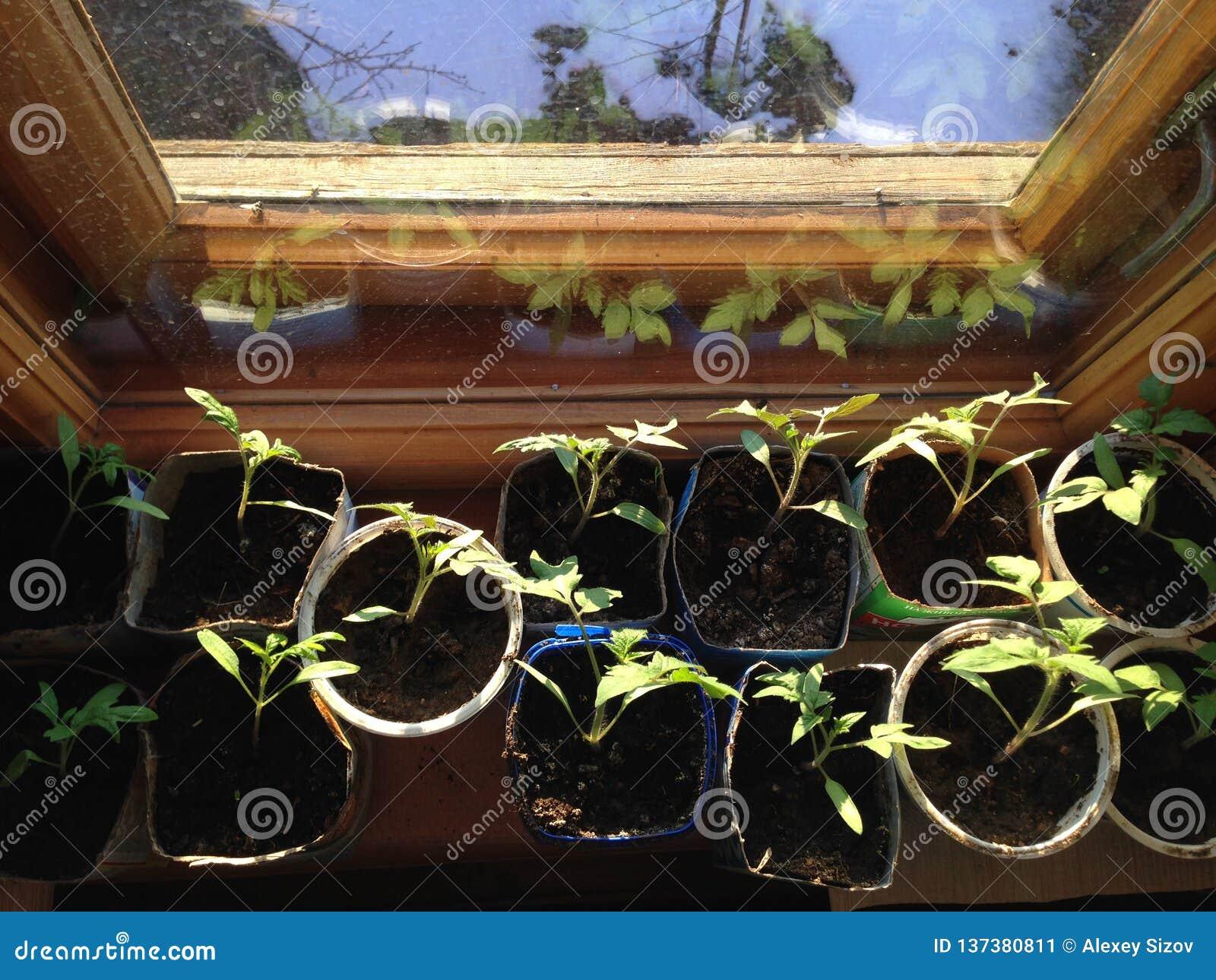 Piantine crescenti del pomodoro sul davanzale