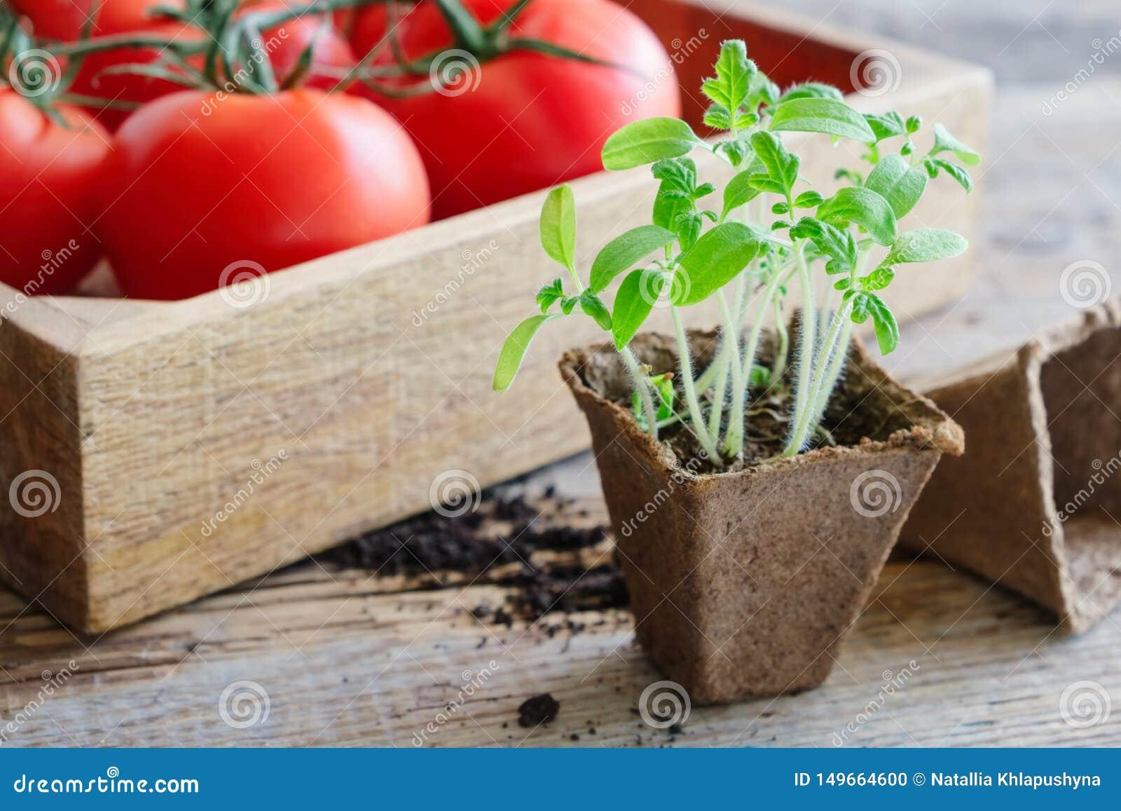 Piantine crescenti verdi dei pomodori e dei pomodori maturi rossi in cassa di legno