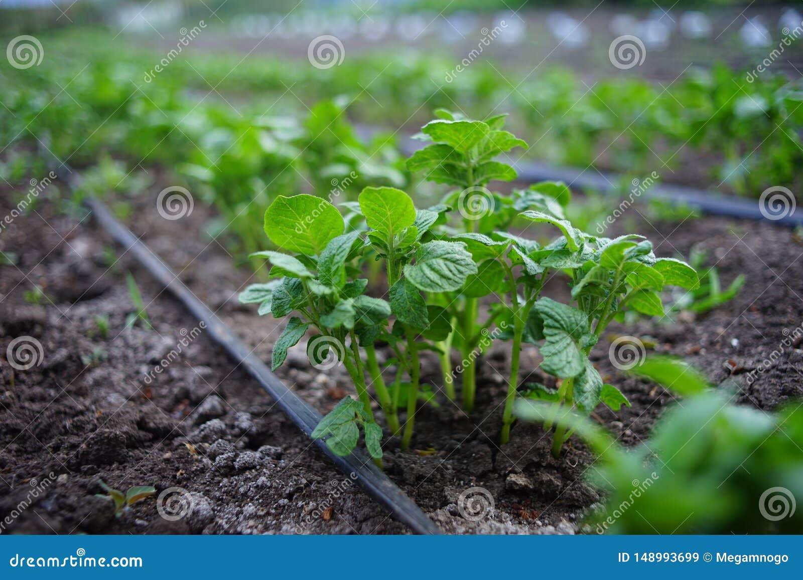 Piantine dei cespugli delle patate nel giardino Tubo flessibile di irrigazione fra le file delle verdure