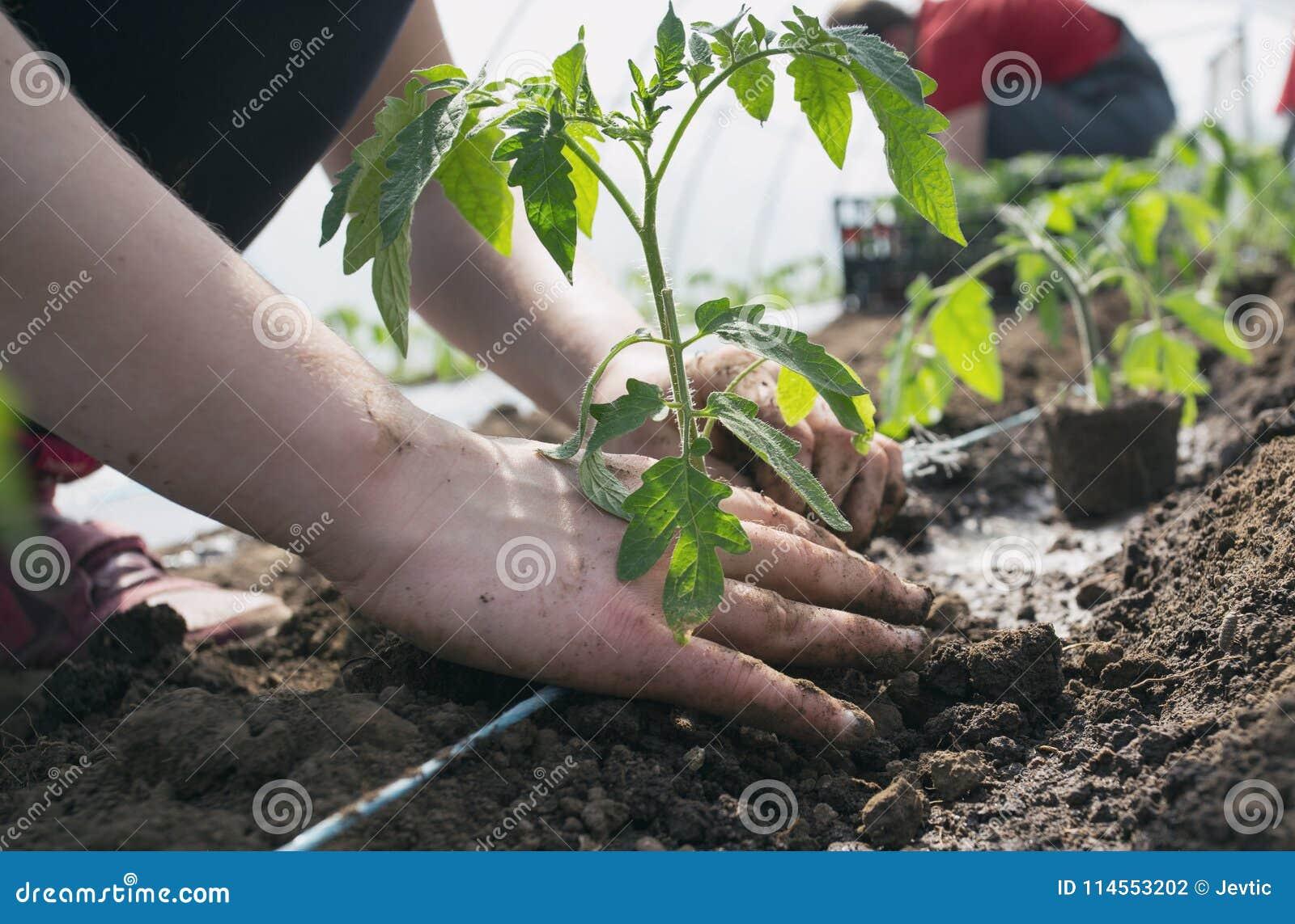 Piantine del pomodoro che piantano nella serra