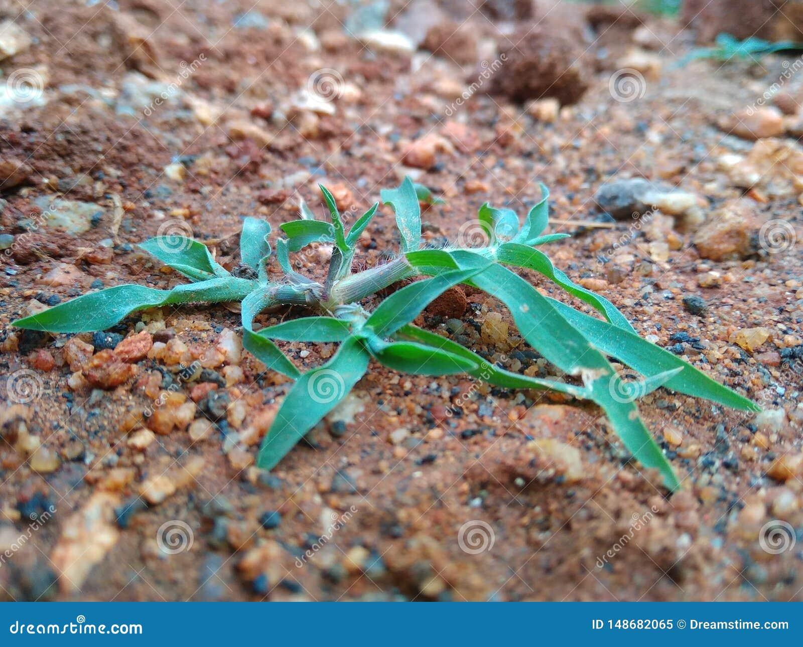 PIC de minhas trepadeiras da folha do verde do jardim