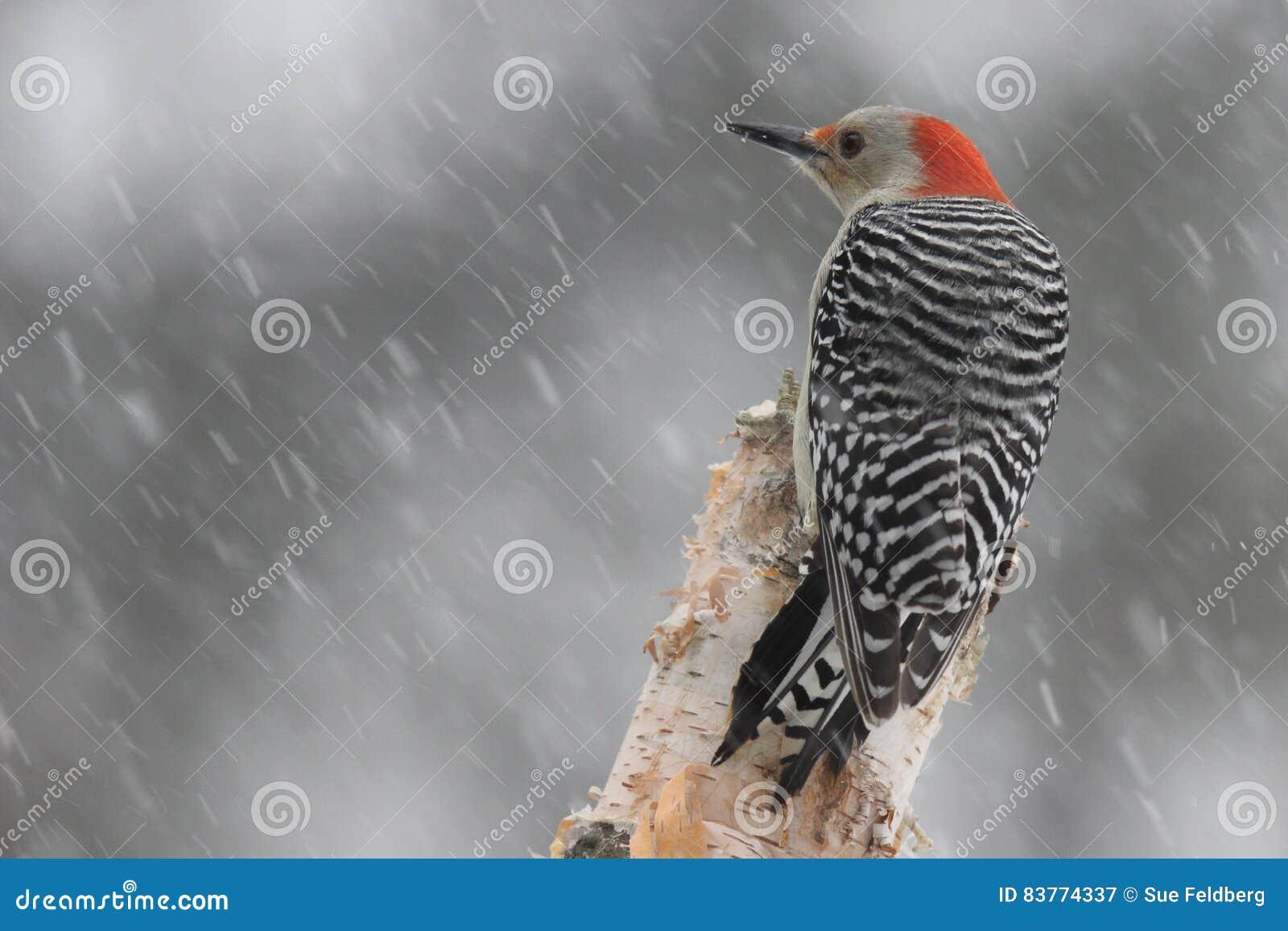 Pica-pau em uma tempestade do inverno