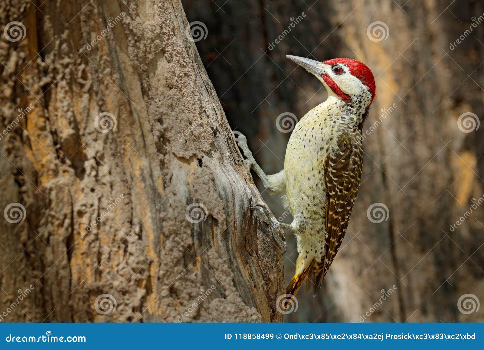 Pica-pau Salpico-throated, scriptoricauda de Campethera, no tronco de árvore, habitat da natureza Animais selvagens Botswana, com