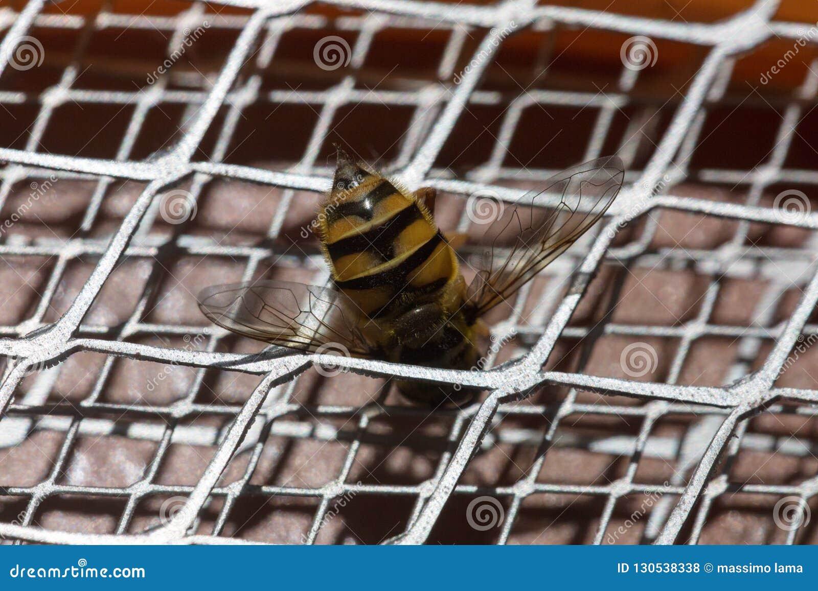 Picadura de abeja macra