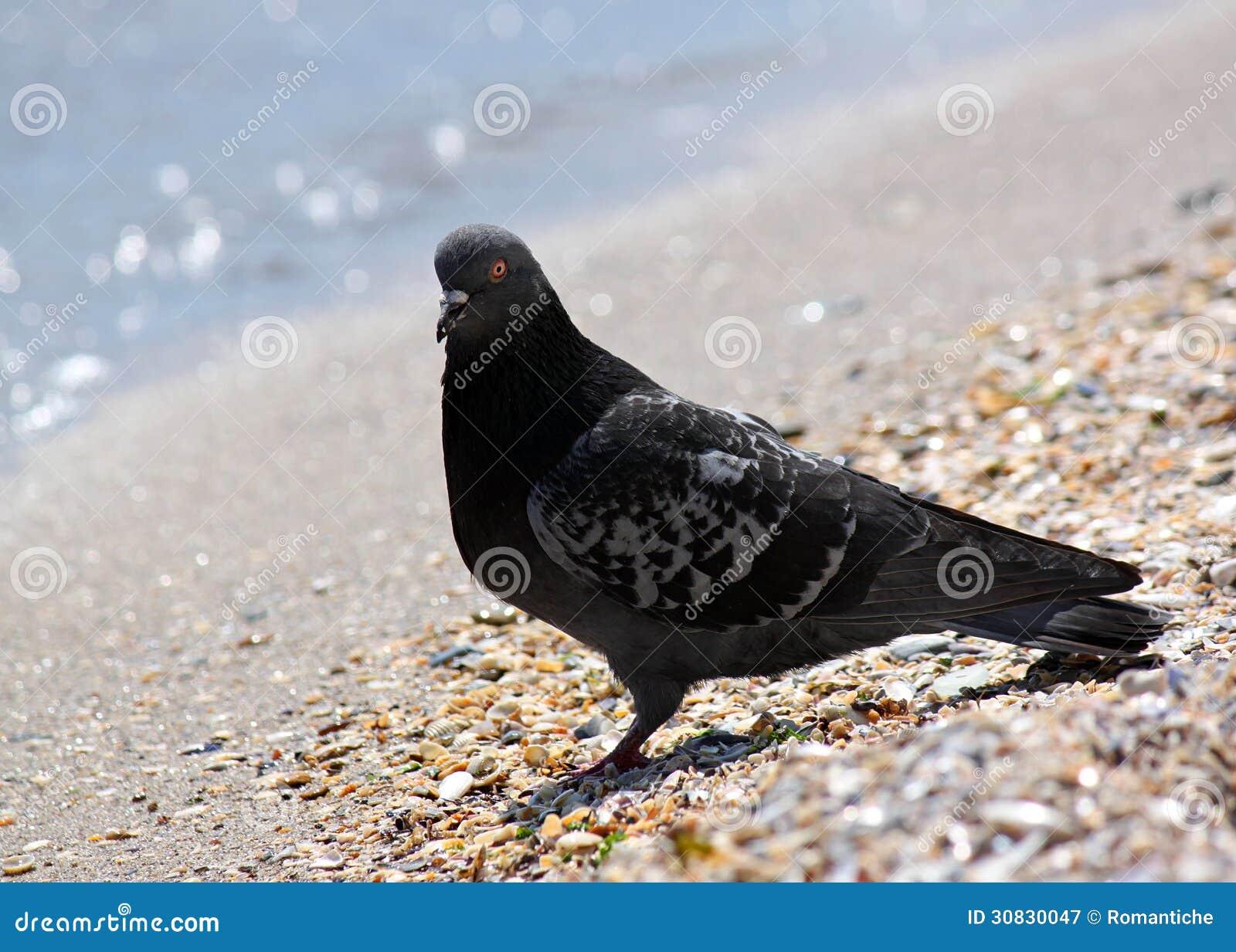 Piccione che si siede alla spiaggia