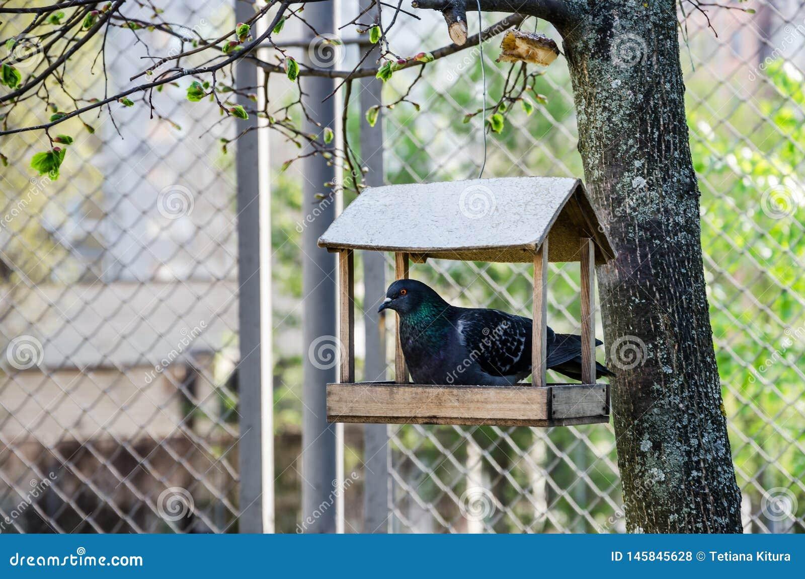 Piccione in una mangiatoia di legno su un albero