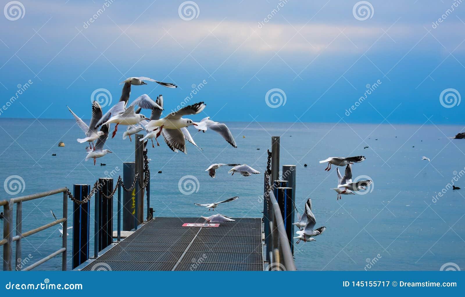 Piccioni volanti - lago Lemano, Losanna