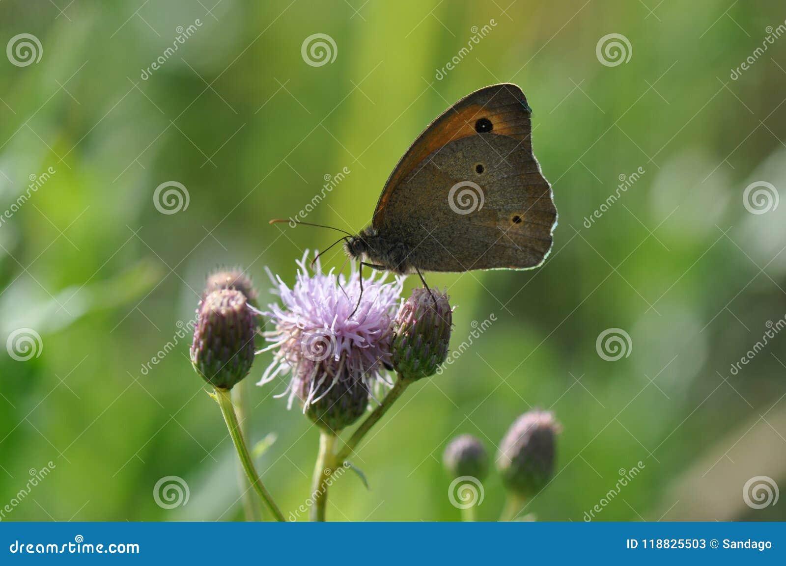 Piccola brughiera della farfalla