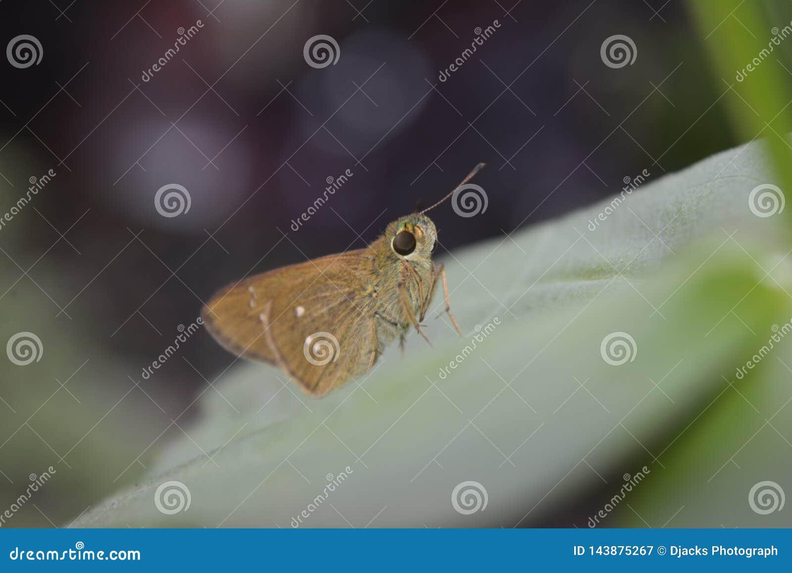 Piccola farfalla marrone