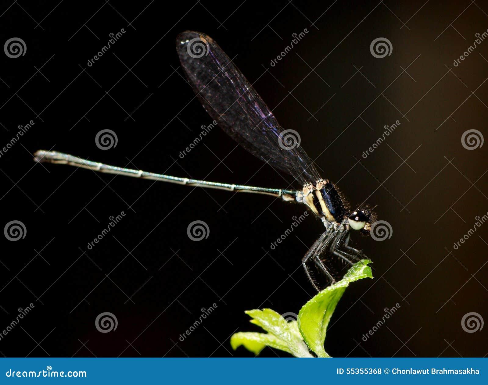 Piccola libellula variopinta minuscola