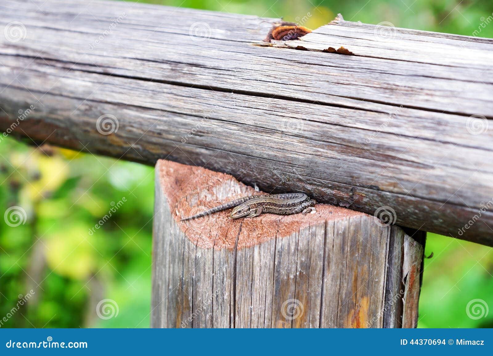 Piccola lucertola marrone